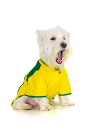 picture of westie  - Brazilian westie dog complaining at a football brazilian team game - JPG