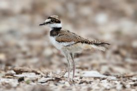 foto of killdeer  - Baby Killdeer (Charadrius vociferus) looking for food among grass and wild flowers