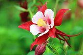foto of columbine  - Columbine flower - JPG