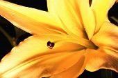 stock photo of lily  - Easter Lily,Longflower Lily,closeup of yellow lily flower in full bloom