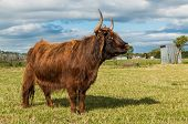 stock photo of highland-cattle  - Long horns on this brown highland cow - JPG