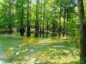 stock photo of suwannee river  - Cypress trees and knees at Peacock Springs State Park - JPG