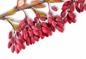 pic of barberry  - Ripe Barberry On A Branch Close - JPG