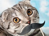 foto of scottish-fold  - portrait of a young Scottish Fold cat with paper mustaches - JPG