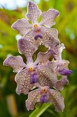 pic of yellow orchid  - Bicolor yellow and blue orchid in the garden - JPG