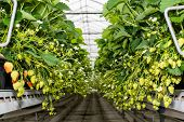 picture of hydroponics  - Blossoming and ripening strawberries hanging in a modern company specialized in hydroponic strawberry cultivation on substrate - JPG