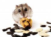 pic of hamster  - hamster holding a old banana - JPG