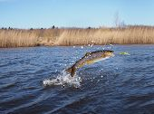 image of lax  - jumping out from water salmon on river background - JPG