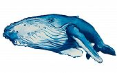 picture of whale-tail  - vector illustration watercolor and blue humpback whale - JPG