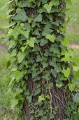 stock photo of creeping  - Green ivy plant creeping on tree trunk - JPG