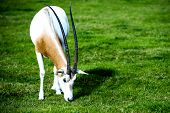 foto of antelope horn  - Scimitar-horned Oryx in the wild. This spiral-horned antelope