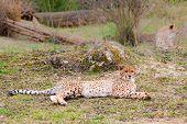 pic of cheetah  - Beautiful Cheetah Gepard Acinonyx jubatus lying down on green grass and looking at camera - JPG