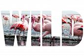 foto of pink flamingos  - Word WILD over pink flamingo in Bolivia - JPG