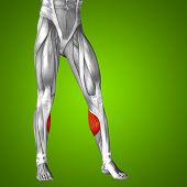 Concept or conceptual 3D gastrocnemius human lower leg anatomy or anatomical and muscle on green gra poster