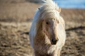 picture of iceland farm  - Close up view of an Icelandic pony  - JPG