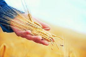 stock photo of track field  - wheat field in Crimea golden wheat in field - JPG
