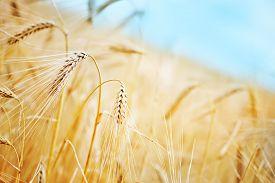 image of track field  - wheat field in Crimea golden wheat in field - JPG