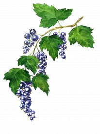 stock photo of bine  - branche of black currants with berries and green leaves drawing by watercolor - JPG