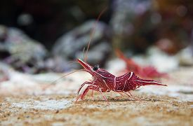 image of shrimp  - Rhynchocinetes uritai, commonly known as Camel Shrimp, Camelback Shrimp or Peppermint Shrimp ** Note: Visible grain at 100%, best at smaller sizes - JPG