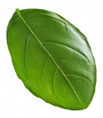 image of basil leaves  - Basilic leaf  - JPG