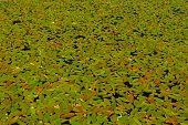 stock photo of hydrophytes  - Algaes in lake for background and design - JPG