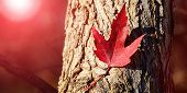 Red Maple Leaf. Canada Day Maple Leaves Background. Falling Red Leaf For Canada Day 1st July. Happy  poster