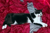 Tuxedo Cat Over Red Background. Cat Lying In The Bed. Animals, Pets Concept. Cropped Shot Of A Black poster