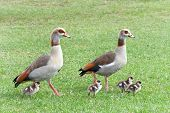Egyptian Geese Walking With Goslings In Green Grass. Egyptian Geese Were Considered Sacred By The An poster