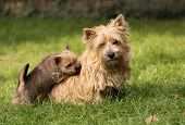 image of westie  - Norwich terrier puppy climbing to his mother - JPG