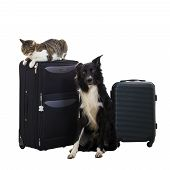 Purebred Cat And Dog Stand Near Luggage Isolated Over White Background. Pets Friends Going In Vacati poster