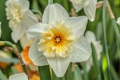 Closeup of beautiful narcissus. Spring flower background. Green blossom flora plant daffodil poster