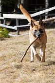 Malinois Or Belgian Sheepdog Running In Dry Meadow With A Wooden Stick In Its Mouth. Pets, Animal Fr poster