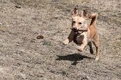 Cute Little Brown Rat Terrier Chihuahua Mix Dog Running With Conifer Cone In Its Mouth On Dry Meadow poster