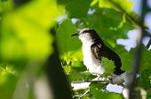 pic of mockingbird  - A Northern Mockingbird Perched in a Tree - JPG
