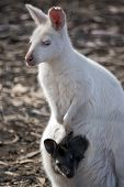 The Albino Western Grey Kangaroo Has A Brown Joey In Her Pouch poster