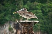 Close Up Of A Pelican In Nature. Amazing Nature. Close Up Of A Pelican In Nature. Pelican Bird. Natu poster