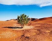 Single tree in Sahara Desert, Algeria