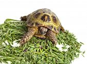 Turtle standing in heap green oat seeds close up isolated on white background