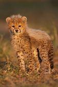 foto of cheetah  - Cheetah cub, Kruger National Park, South Africa. ** Note: Slight graininess, best at smaller sizes - JPG
