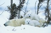 stock photo of bear cub  - Polar Bear cubs with mother in snow Yukon - JPG