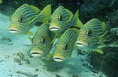 stock photo of raja  - Raja Ampat Indonesia Pacific Ocean oriental sweetlips  - JPG