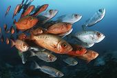 stock photo of bigeye  - Mozambique Indian Ocean school of crescent - JPG