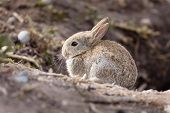 stock photo of wild-rabbit  - Wild baby european rabbit Oryctolagus cuniculus outside a burrow of a rabbit warren - JPG