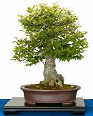 Hackberry (zeltis Chinensis) As Bonsai Tree