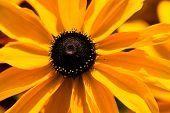 pic of black-eyed susans  - Bright yellow rudbeckia or Black Eyed Susan flowers in the garden - JPG