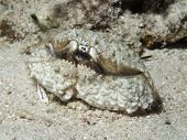 stock photo of hepatitis  - Hepatic box crab in Bohol sea Phlippines Islands - JPG