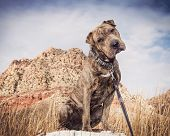picture of shar pei  - A Shar Pei mixed breed dog posing for his portrait in the desert on a stump - JPG