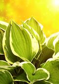 Fresh green leaves of a hosta