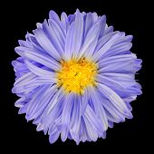 Purple Aster Flower With Yellow Center Isolate On Black