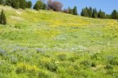 picture of beartooth  - View of alpine wildflowers along the Beartooth Highway in Wyoming - JPG